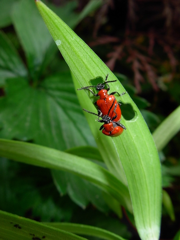 Image of Lily beetle