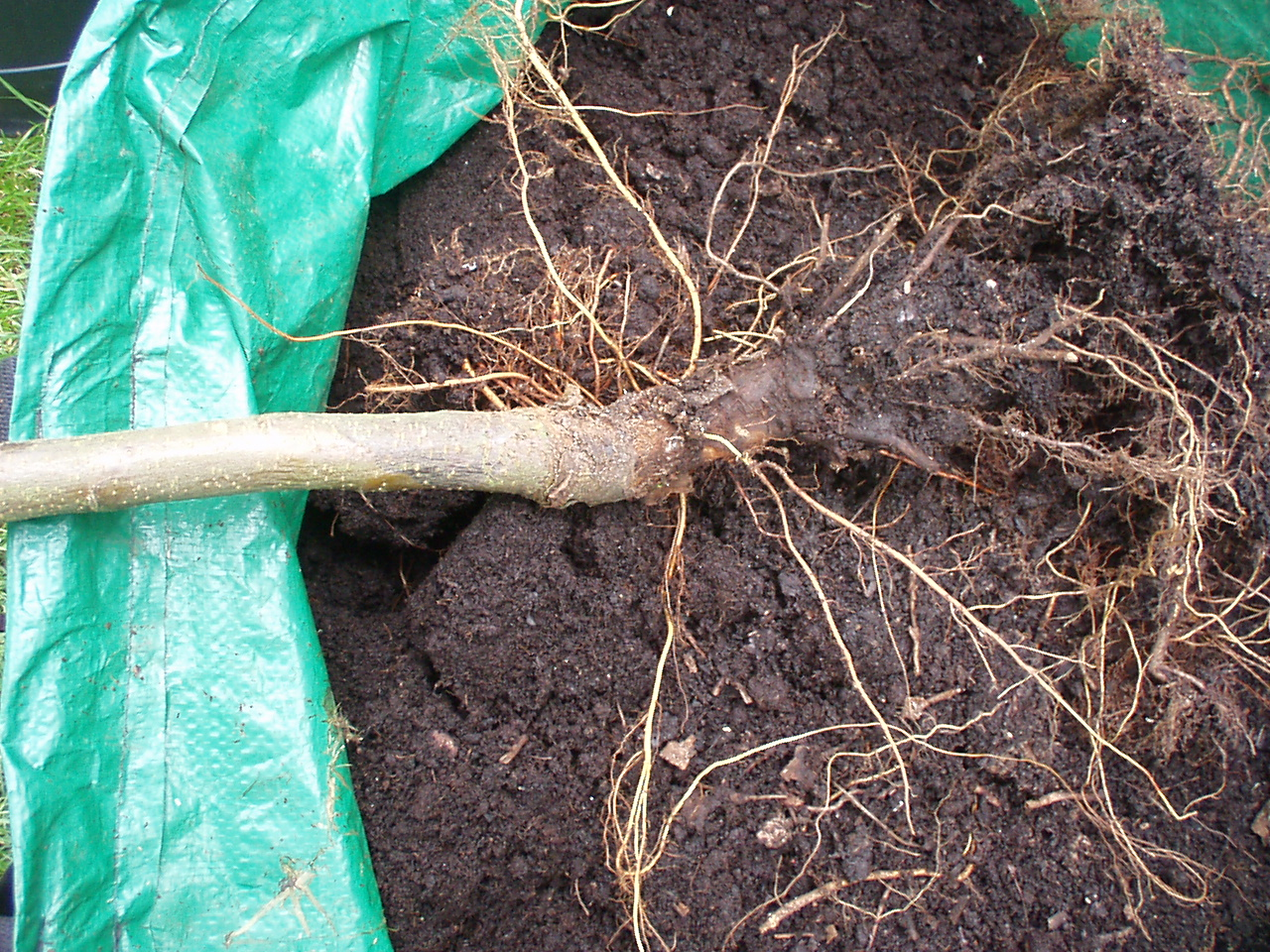 Image of Phytophthora root rot