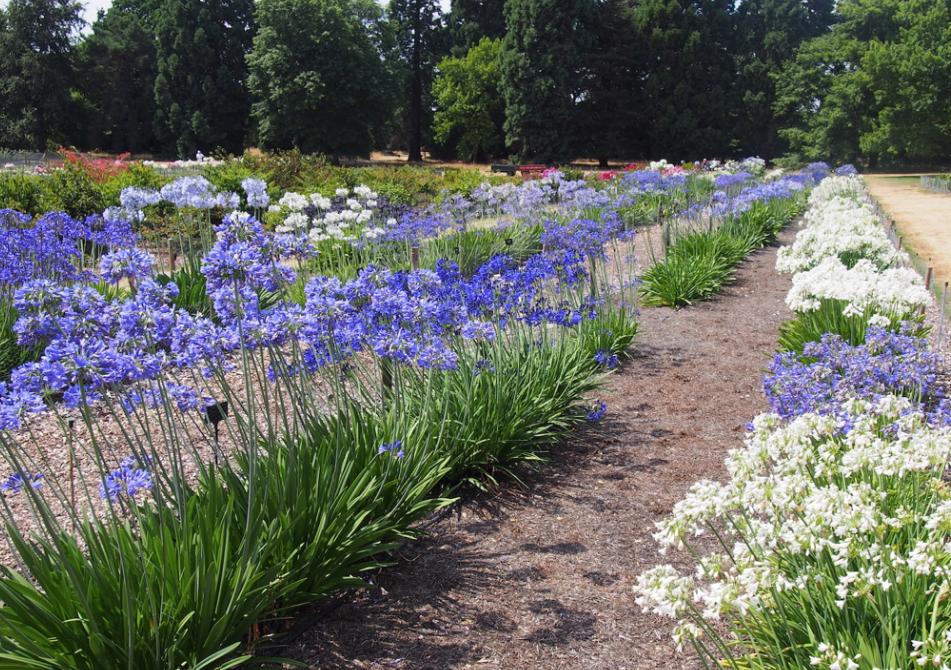 Gardening News: Growing Agapanthus