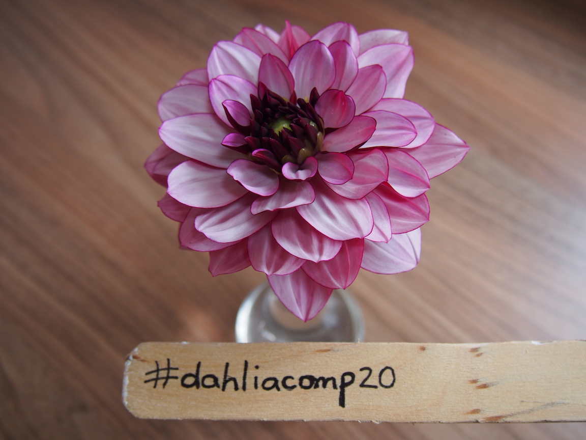 Prettiest Dahlia Competition