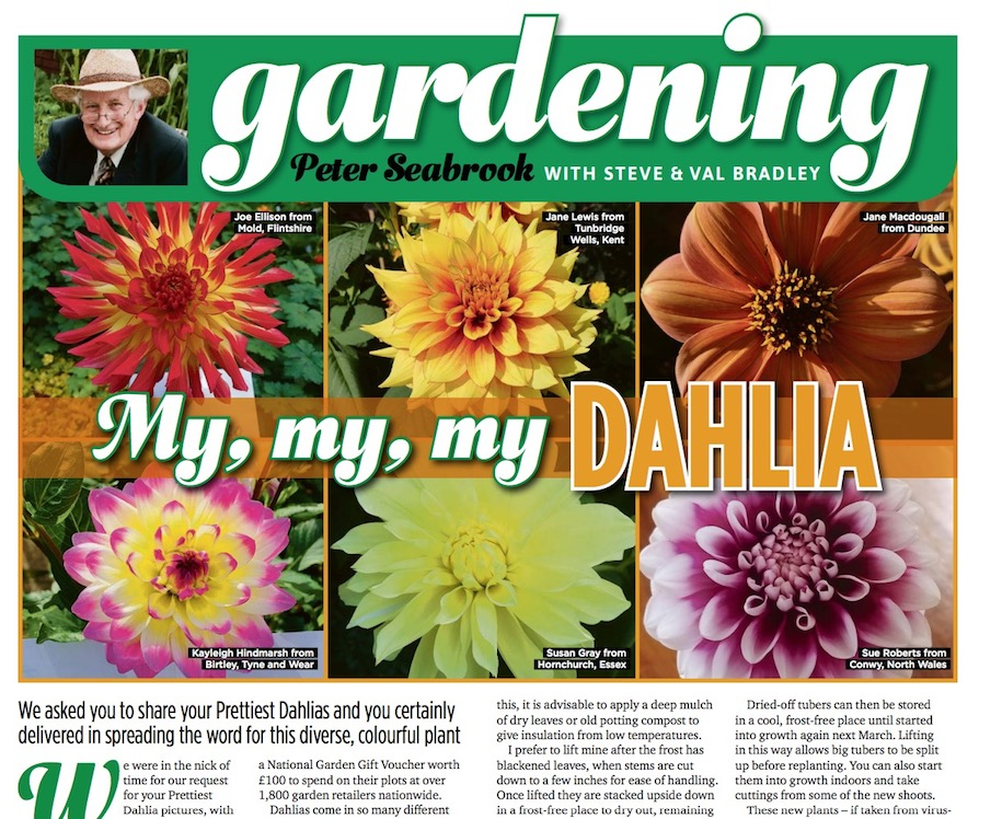 Prettiest Dahlia Winners