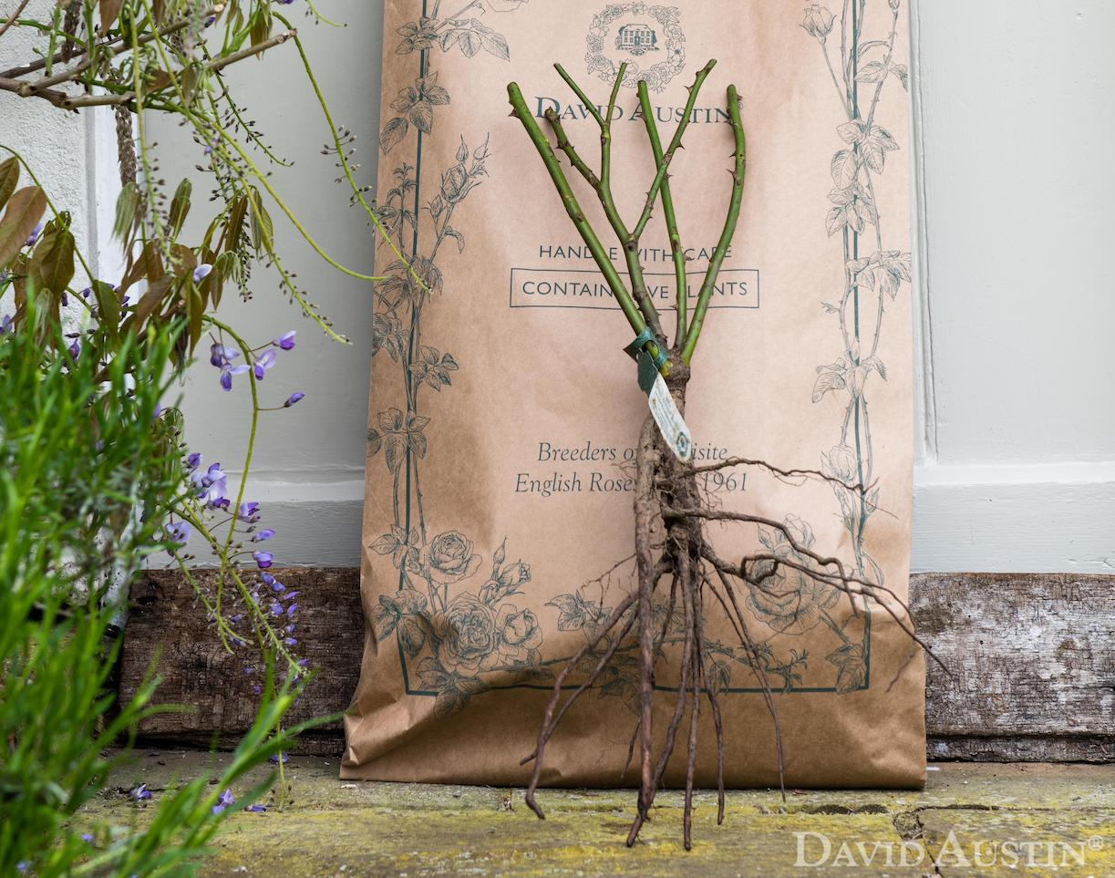 Image for Go green this autumn with easy, seasonal bare root roses
