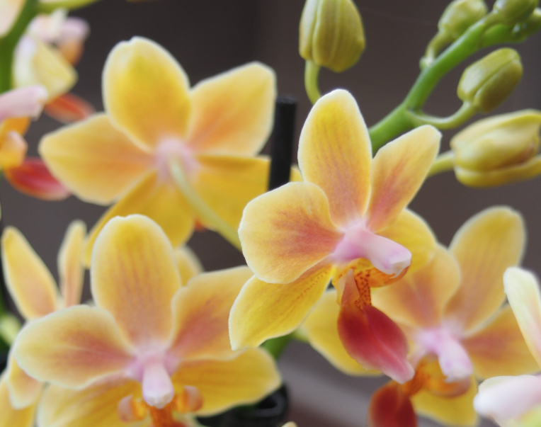 Gardening News: New fragrant orchids