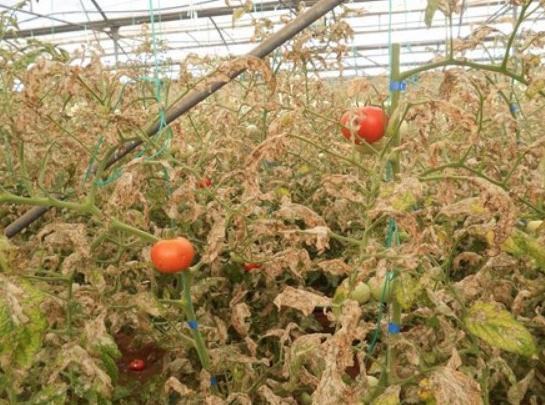New virus to combat the tomato leaf miner