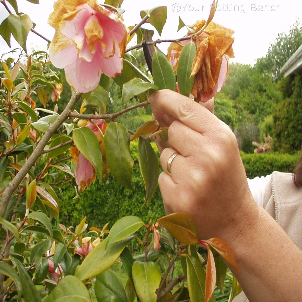 How to garden: Camellia Care