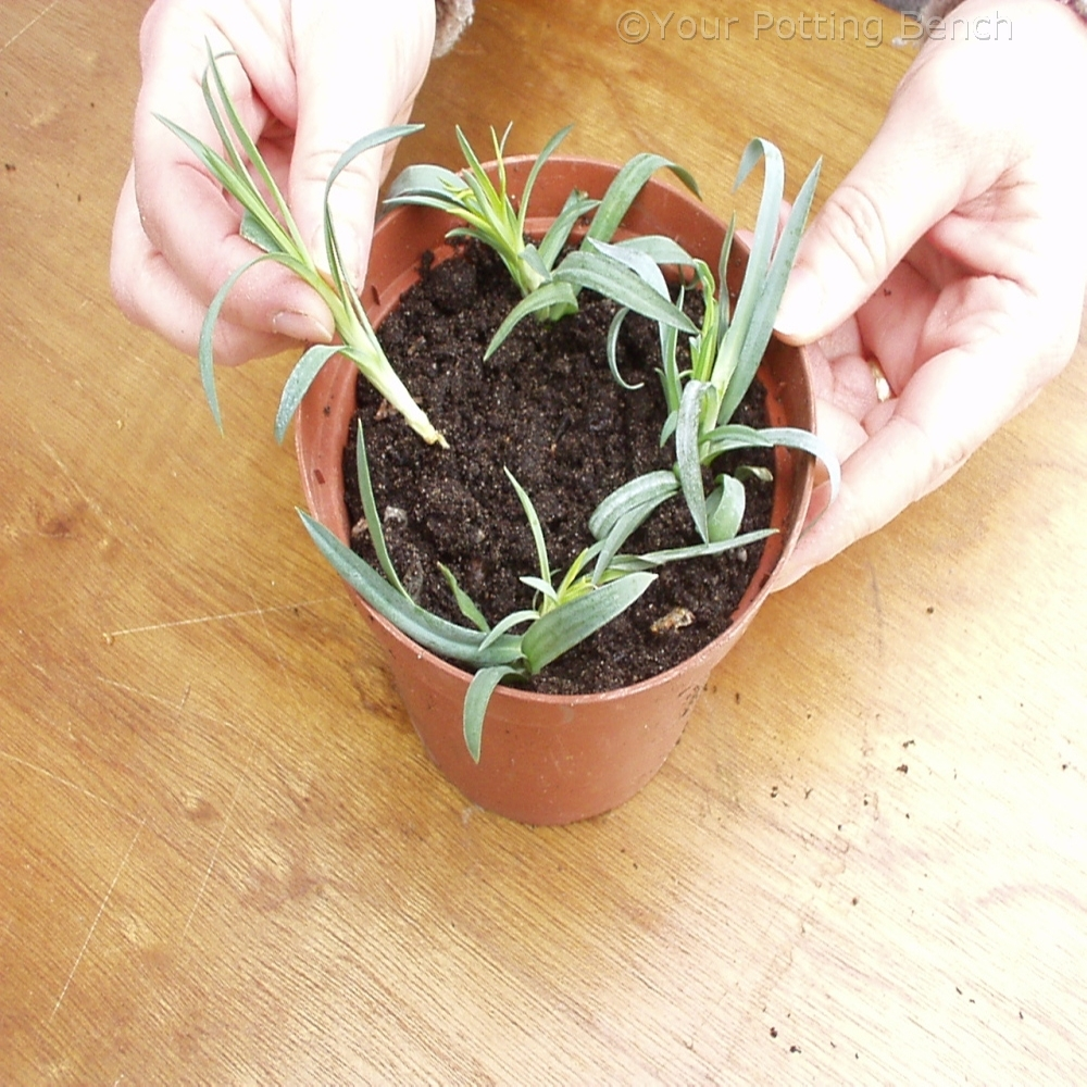 Step 3 of How to Root Carnations