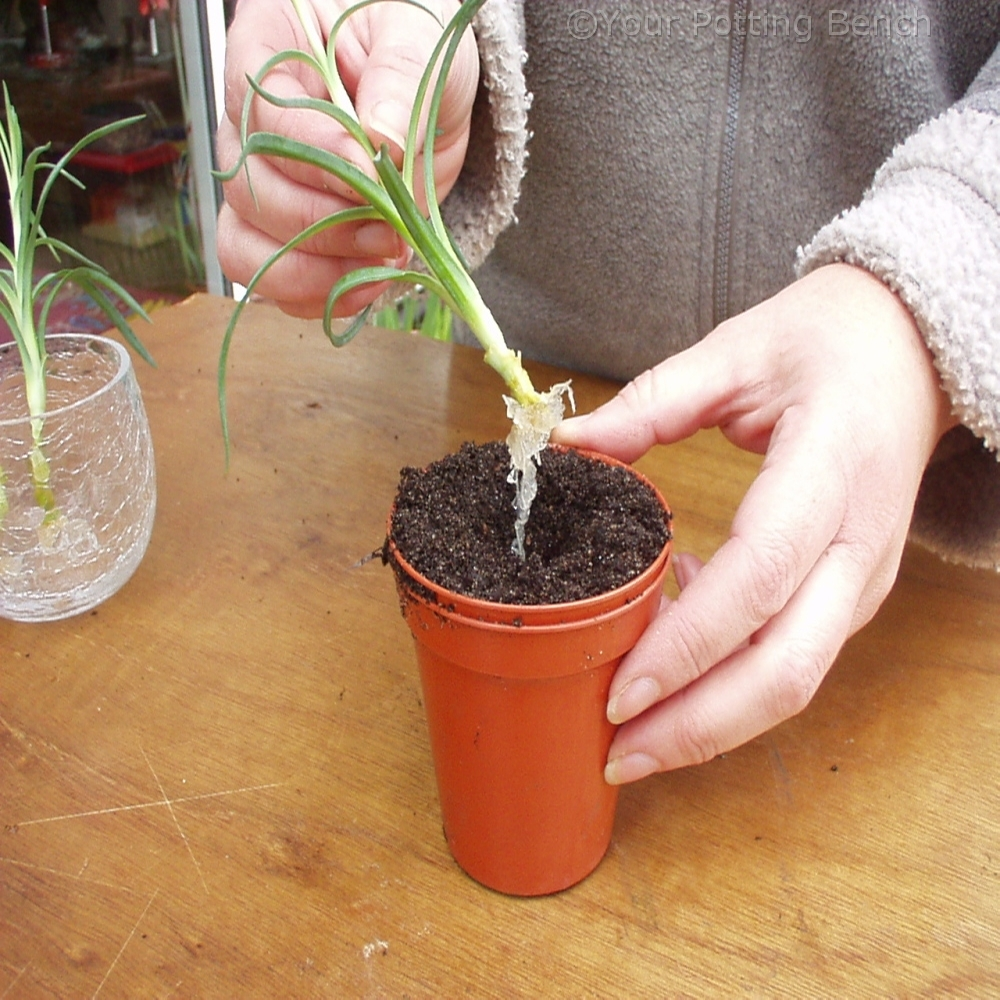 Step 4 of How to Root Carnations