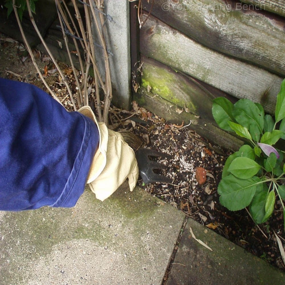 Step 4 of How to Care for Early-Flowering Clematis