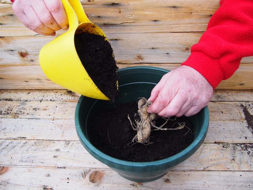 Step 1 of How to Take Dahlia Cuttings