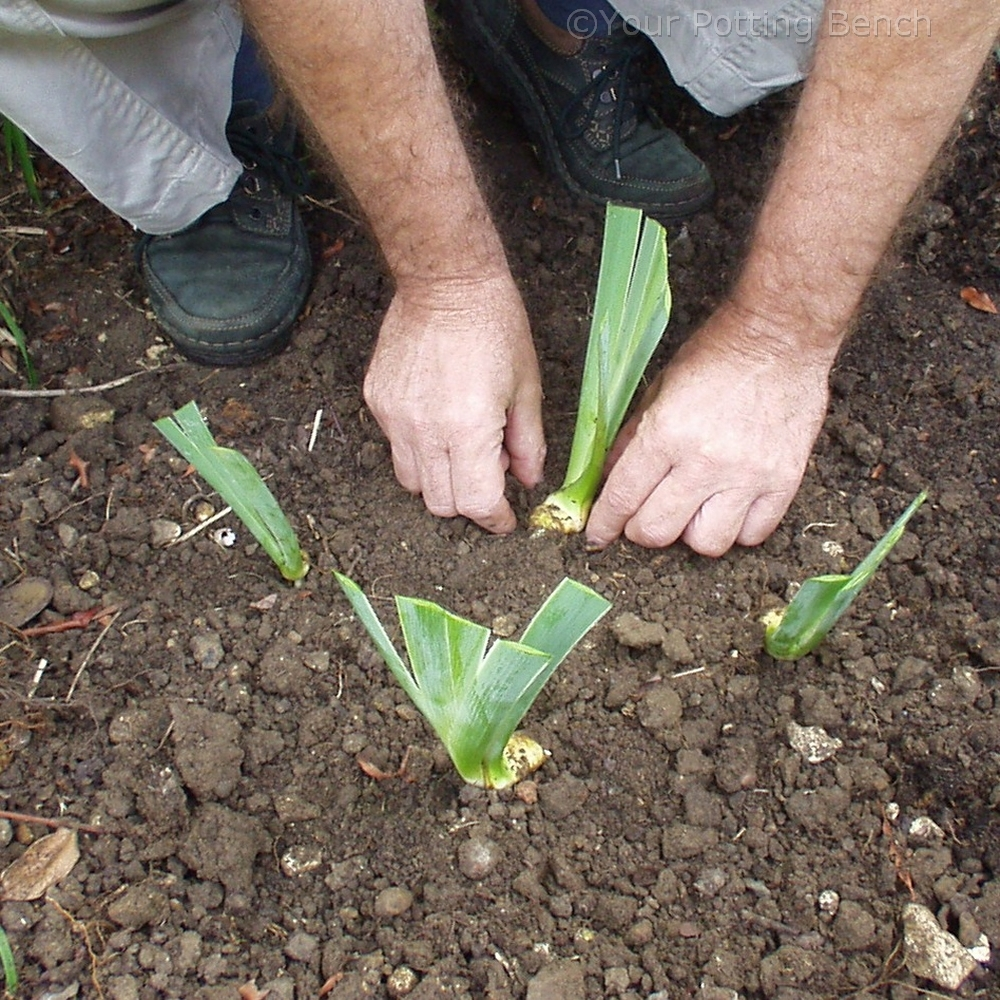 Step 4 of 4How to Divide Early Summer-Flowering Iris