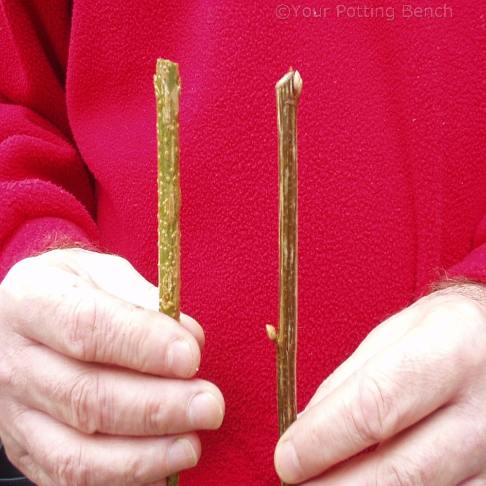 Image of How to take Hardwood Cuttings