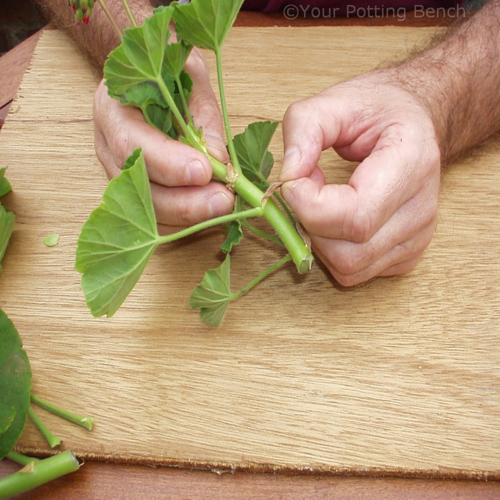 Step 2 of How to take Pelargonium Cuttings