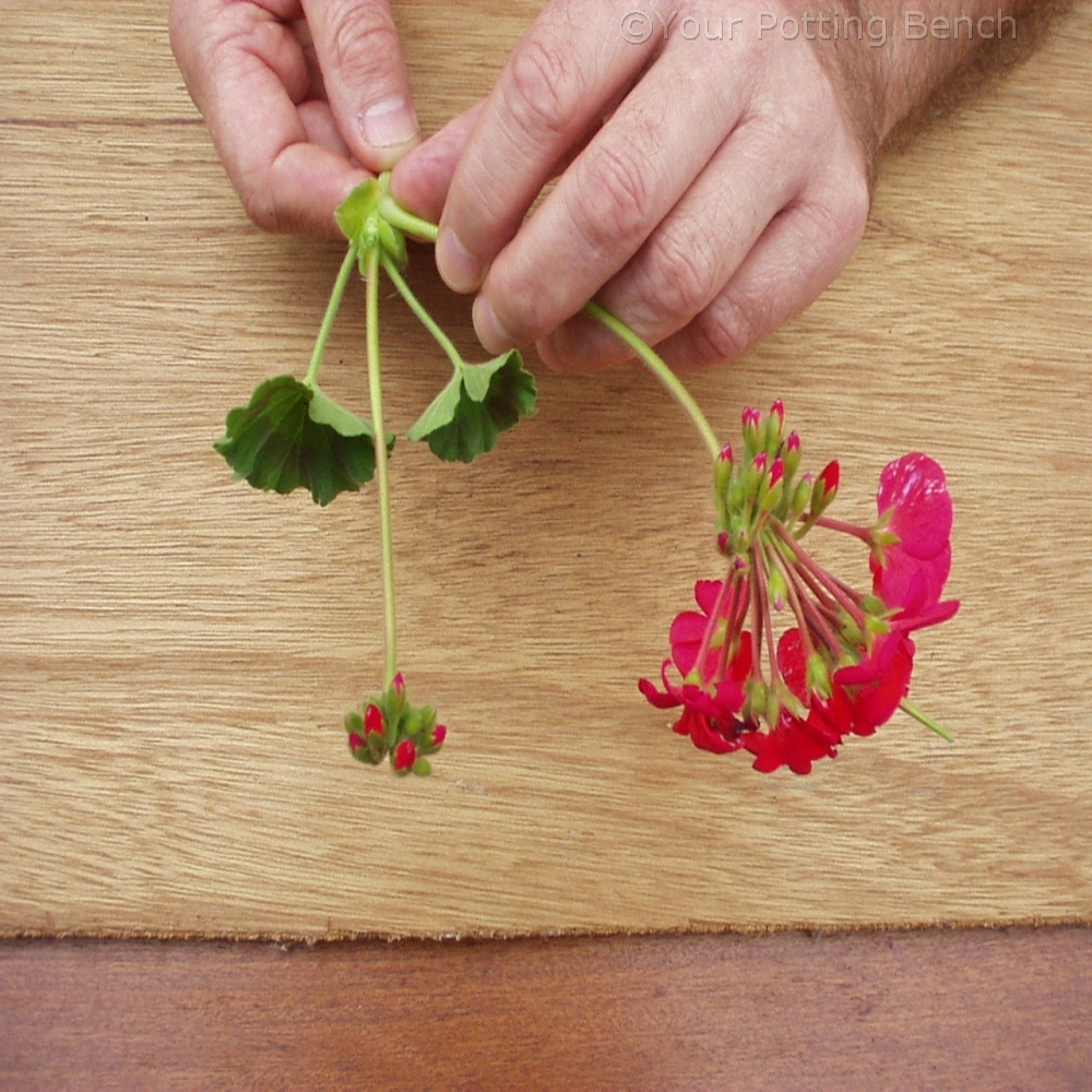 Step 3 of How to take Pelargonium Cuttings