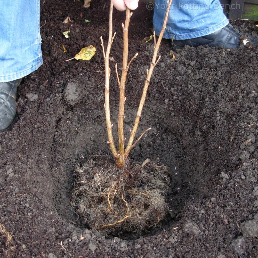 Learn about How to Plant a Fruit Bush