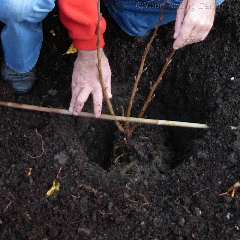 Step 2 of How to Plant a Fruit Bush