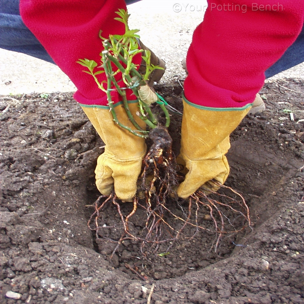 Step 1 of How to plant a bare-root rose