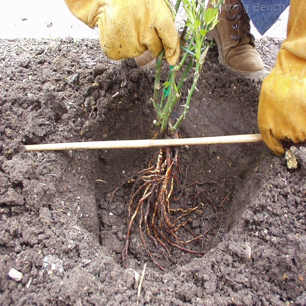 Step 2 of How to plant a bare-root rose