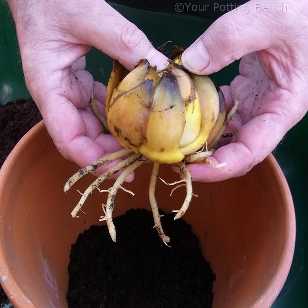 Step 2 of How to grow a lily in a Container