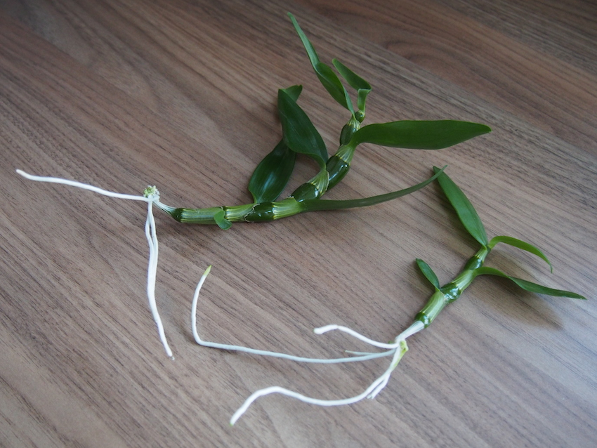 Step 2 of Propagate Dendrobium Orchids