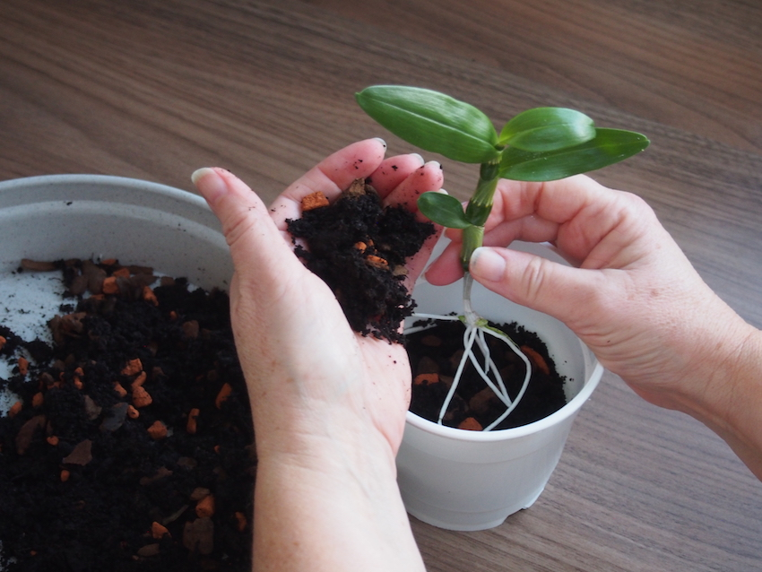 Step 3 of Propagate Dendrobium Orchids