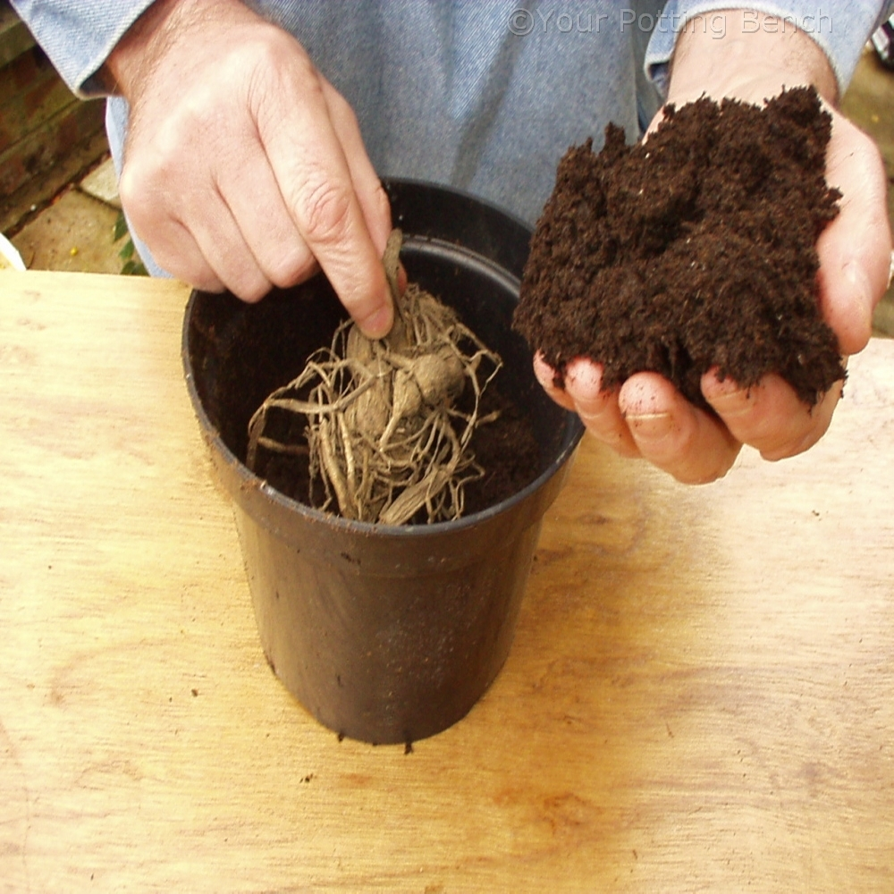 Image of How to take Dahlia cuttings