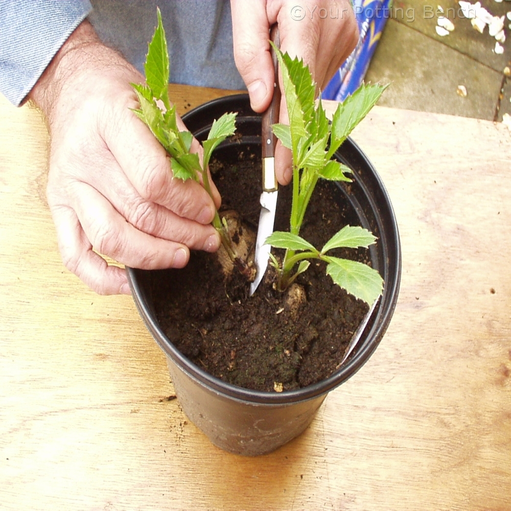 Step 2 of How to take Dahlia cuttings