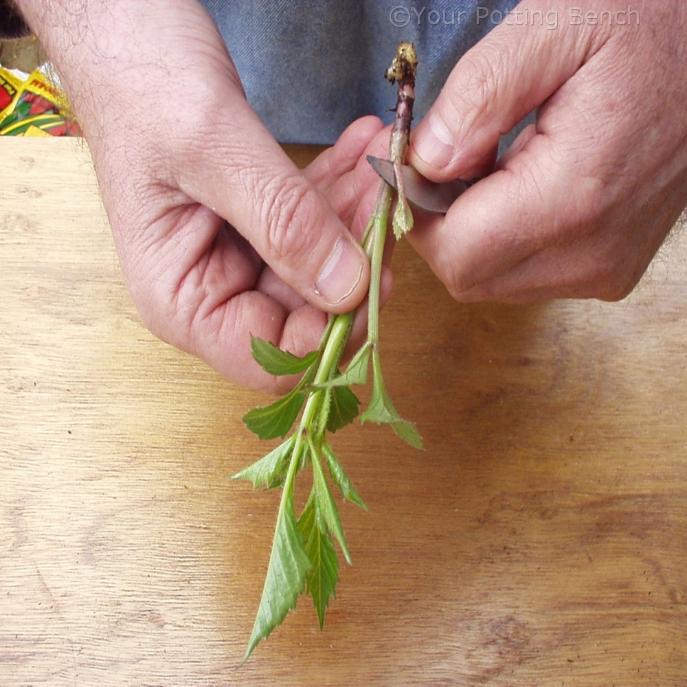 Step 3 of How to take Dahlia cuttings