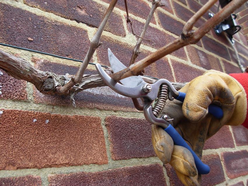 Step 1 of Prune a Grape Vine
