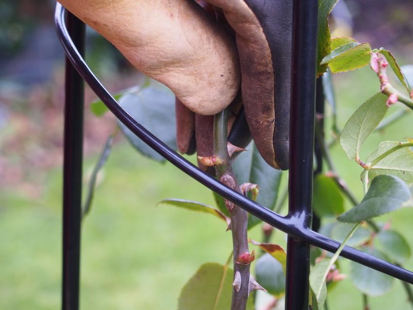 Step 3 of Pruning Roses