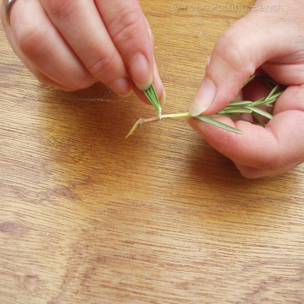 Step 2 of How to take semi-ripe cuttings