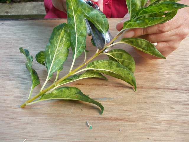 Image of How to take softwood cuttings